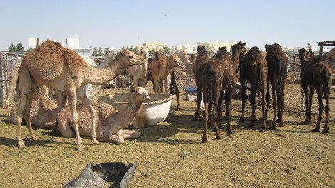 Camels waiting to be sold at the camel market.