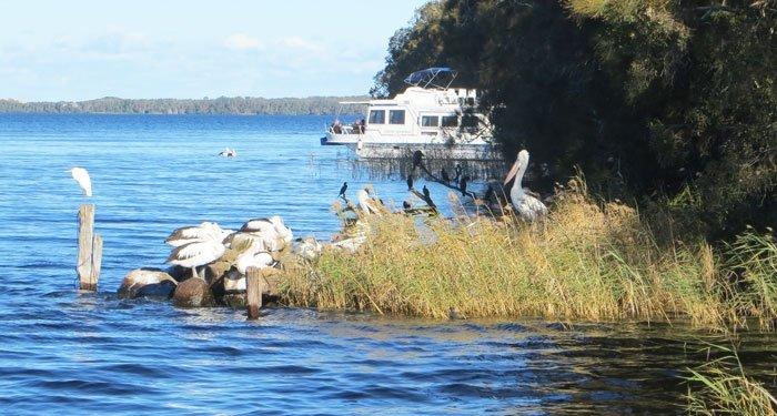 Pelicans Bombah Ferry