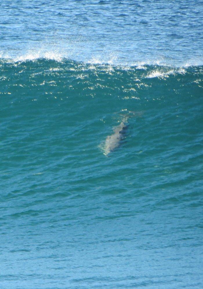 Dolphin surfing Brunswick Heads, Australian East Coast Road Trip