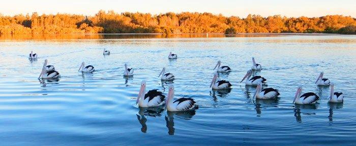 Pelicans, Nambucca Heads, Australian East Coast Road Trip